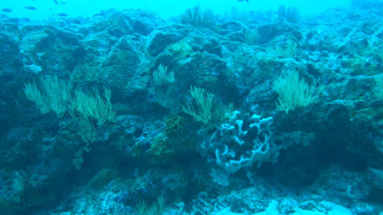 after a stony sandy flat floor we arrived on a wall where a big white sponge and others small encrusting sponges, 2 different black corals species (one up to the wall and the other one in mid-wall) and fishes could be found